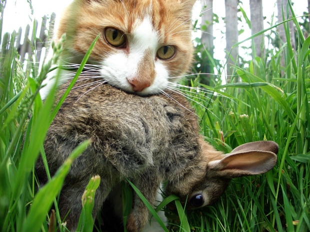 Feral cat with rabbit prey.