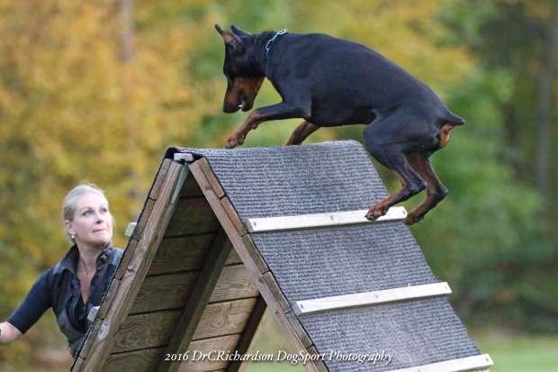 SchutzhundDoberman